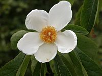 Franklinia alatamaha1ScottZona