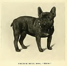 french bulldog wiki french bulldog wikipedia 7596