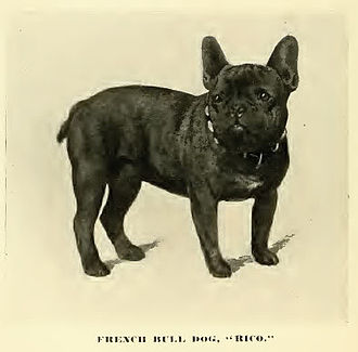 French Bulldog - French Bulldog circa 1890