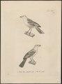 Fringilla lutea - 1700-1880 - Print - Iconographia Zoologica - Special Collections University of Amsterdam - UBA01 IZ16000065.tif