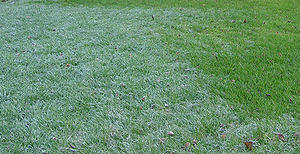 Manna - Manna is described as white and comparable to hoarfrost in size. Hoarfrost on grass lawn.