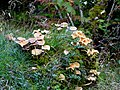 Fungi by the River Shin - geograph.org.uk - 985530.jpg