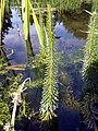 GOC Bengeo to Woodhall Park 017 Mare's-tail (Hippuris vulgaris) (8097589720).jpg