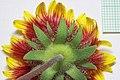 Gaillardia flower underside - Flickr - andrey zharkikh.jpg