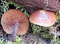Galerina marginata (Batsch) Kühner 867080.jpg