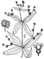 Galium lanceolatum BB-1913.png