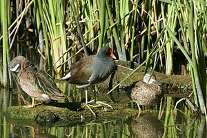 Santa Ana National Wildlife Refuge - Common gallinule (middle) and blue-winged teals in the refuge