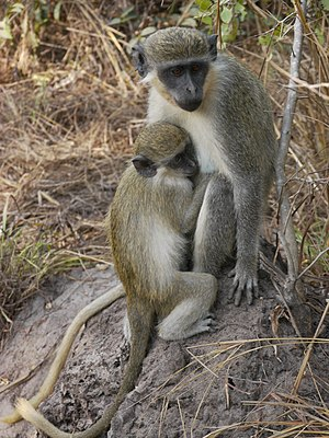 Green monkey - Female with juvenile, Gambia