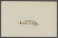 Gammarellus tredunculatus - - Print - Iconographia Zoologica - Special Collections University of Amsterdam - UBAINV0274 098 02 0020.tif