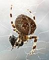 Garden Spider (1674092514).jpg
