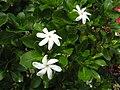 Gardenia taitensis (1).jpg