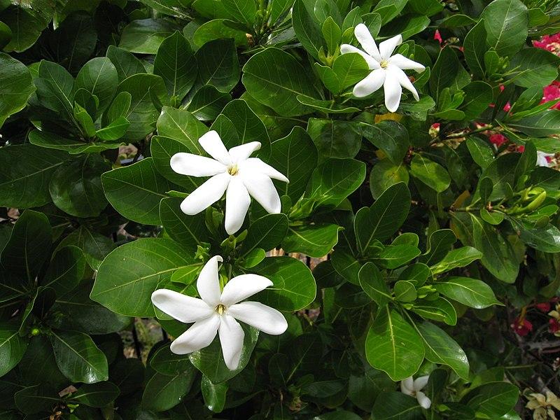 File:Gardenia taitensis (1).jpg