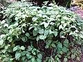 Gardenology.org-IMG 2500 ucla09.jpg