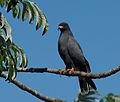Gavião-caramujeiro (Rostrhamus sociabilis) (17833658669).jpg