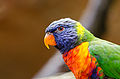 Gebirgslori-Zoo-Muenster-2013-02.jpg