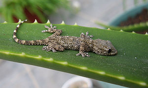 Arboreal locomotion - The gecko's toes adhere to surfaces via dry adhesion, to allow them to stay firmly attached to a branch or even a flat wall.