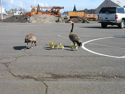 Family in builders' yard, Salem, Oregon: The mother goose had built a nest on an aggregate pile. Geese near East Salem Compound (5662820374).jpg