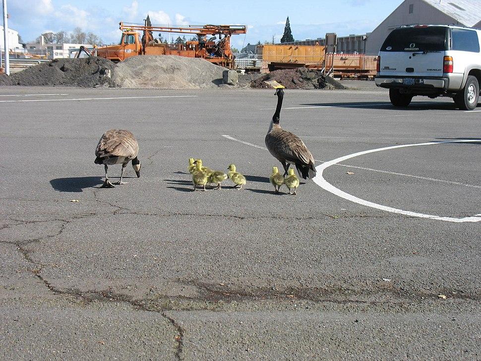 Geese near East Salem Compound (5662820374)