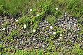 Gelsenkirchen - Zeche Consol 349 - Consol-Park - Calystegia sepium 03 ies.jpg
