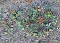 Geranium columbinum kz06.jpg