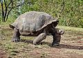 Giant-Tortoise-Santa-Cruz2.jpg