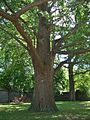 Ginkgo Tree in Touro Cemetery, Newport, RI - August 29, 2015.jpg
