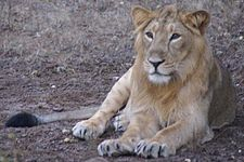 Gir lion male.jpg