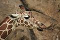 Giraffa camelopardalis at the Philadelphia Zoo 009.jpg