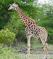 Giraffe (Giraffa camelopardalis) male ... (50701799557).jpg