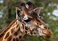 Giraffe head 1a (7110736311).jpg
