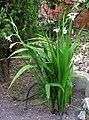 Gladiolus murielae20100818 226.jpg