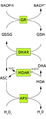 Glutathione-ascorbate cycle 4.png