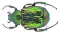 Gnorimus nobilis (Linné, 1758) (19303627758).png