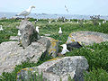 Goeland nidification.jpg