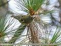 Goldcrest (Regulus regulus) (38741411075).jpg