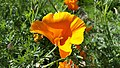Golden Poppy on the north side of Lusk Boulevard.jpg