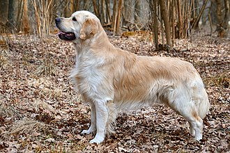 Golden Retriever - Image: Golden Retriever Carlos (10581910556)