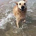 Golden Retriever at the beach.jpg