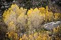 Golden desert aspen (13496815164).jpg
