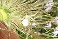 Golden rod crab spider (BG) (8851010611).jpg