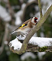 Goldfinch (5279827595).jpg