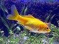 Goldfisch-2.jpg