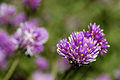 "Gomphrena ""Fireworks"" at Tower Hill (5082066863).jpg"