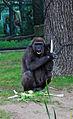 Gorilla0484b.jpg