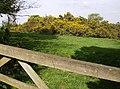 Gorse on Guilsborough Road - geograph.org.uk - 446846.jpg