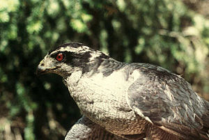 Northern goshawk - A typical adult from the American goshawk subspecies, A. g. atricapillus, showing its strong supercilium, black head and blue-gray back.