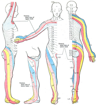 Dermatome (anatomy) - Dermatomes of the Upper and Lower Limbs (Modified, after Keegan, J. J., and Garrett, F. D.)