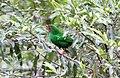 Grass-green Tanager (Chlorornis riefferii) (9499744622).jpg
