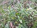 Gratiola officinalis sl17.jpg