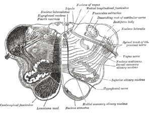 "Arcuate nucleus (medulla) - Transverse section of medulla oblongata below the middle of the olive. (""Nucleus arcuatus"" visible near bottom right.)"
